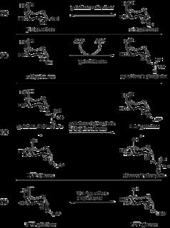 Leloir pathway