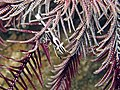 Lembeh35 4-12-11 - 94 crinoid shrimp.jpg
