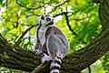 Lemur (23647804318).jpg