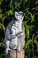 Lemur (33553762360).jpg
