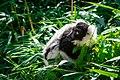 Lemur (36014754744).jpg