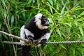 Lemur (36710223431).jpg