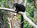 Lemur Macaco.jpg