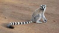 Lemur catta 001.jpg