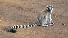 A cat-sized primate sits on the ground.  It has a long tail with alternating black and white stripes. Its hind limbs are longer than its forelimbs. The color of the chest and throat is white, and the back is gray. The crown is dark gray, while the ears and cheeks are white. The muzzle is dark grayish and the nose is black, and the eyes are encompassed by black lozenge-shaped patches.