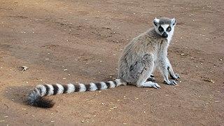 Ring-tailed lemur A large lemur from Madagascar