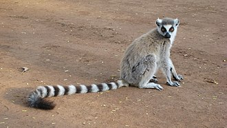 Ring-tailed lemur - Image: Lemur catta 001