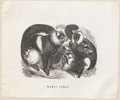 Lemur macaco - 1851-1876 - Print - Iconographia Zoologica - Special Collections University of Amsterdam - UBA01 IZ19700018.tif