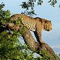 Leopard (6593634841).jpg