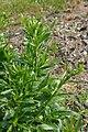 Lepidium campestre - whole plant (19027368586).jpg