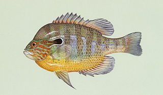 Longear sunfish Species of fish
