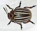 Leptinotarsa-decemlineata-05-fws.jpg