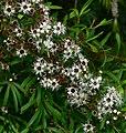 Leptospermum phylicoides 2.jpg