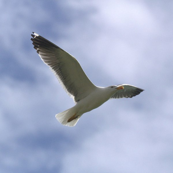 File:Lesser Black-backed Gull (Larus fuscus), Baltasound - geograph.org.uk - 1320158.jpg