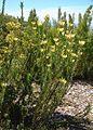 Leucadendron chamelaea (5211696156).jpg