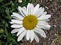 Leucanthemum x superbum 'Becky' in NH.jpg