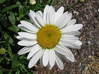 <i>Leucanthemum × superbum</i> Species of flowering plant