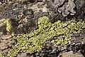 Lichen (16595717778).jpg