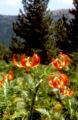 Lil chalcedonicum 01Hab Griechenland Pindus Nationalpark 26 07 01.jpg