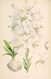 Lilium candidum - giglio
