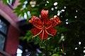 Lilium lancifolium in Montreal.jpg