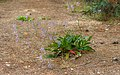 Limonium vulgare narbonense, Vic-la-Gardiole02.jpg