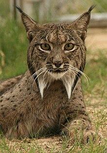 Analyse génétique du Lynx dans LYNX 220px-Linces10