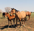 Lineback dun with sorrel foal IMG 5652.jpg
