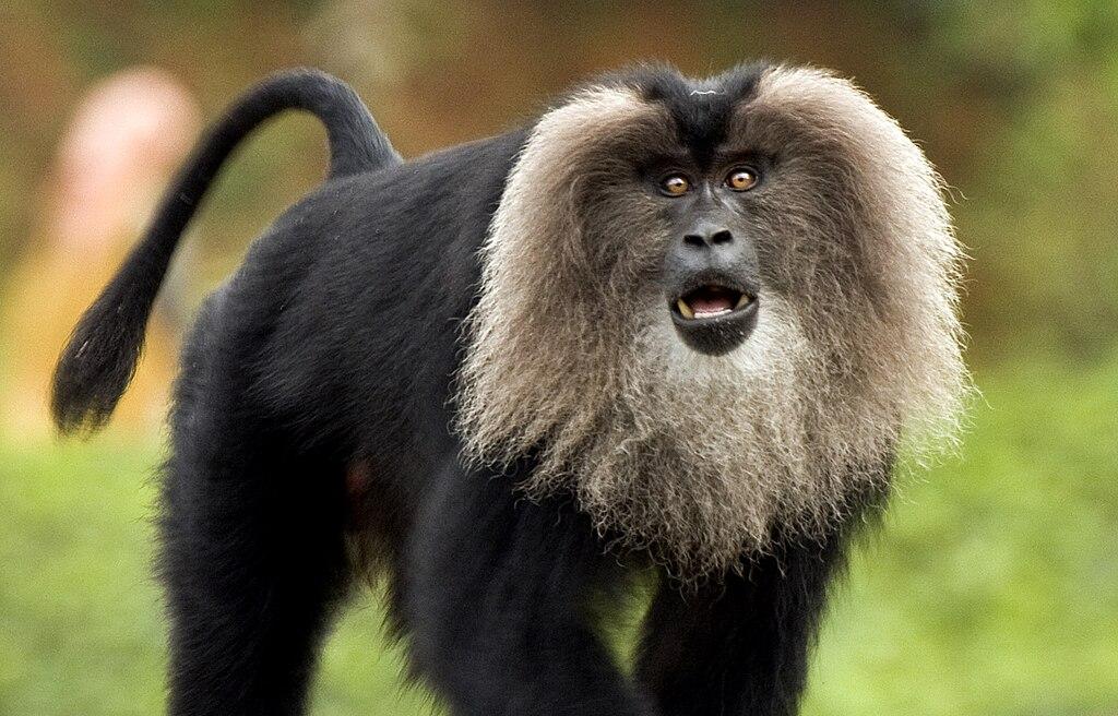 קובץ:Lion-tailed macaque by N A Nazeer.jpg – ויקיפדיה