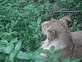 Lion from Bannerghatta National Park 8484.JPG