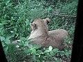 Lion from Bannerghatta National Park 8487.JPG