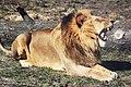 Lion roaring in the sun.jpg