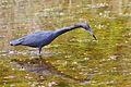Little Blue Heron (5820746533).jpg
