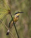 Little bee-eater (Merops pusillus argutus) Namibia.jpg