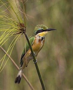 Little bee-eater (Merops pusillus argutus) Namibia
