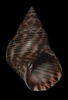 99px littoraria intermedia shell