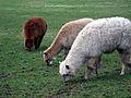 Llamas (2208569231).jpg