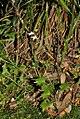 Lobelia vanreenensis (Lobeliaceae) (4809125725).jpg