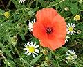 Local Flora - geograph.org.uk - 200538.jpg