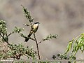 Long-tailed Shrike (Lanius schach) (26560155094).jpg