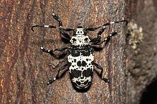 <i>Acanthoderes lacrymans</i> Species of beetle