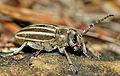 Longhorn Beetle (Iberodorcadion molitor) female (25751216510).jpg