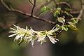 Loropetalum chinense - Shangrao, Jiangxi 2014.03.23 14-02-16.jpg