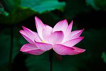 Fotografia da flor de lótus rosa