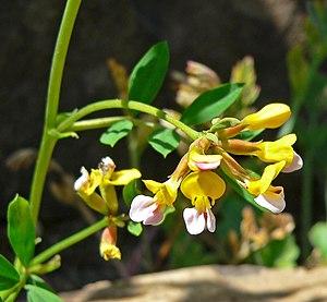 Lotus formosissima 2.jpg