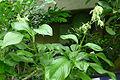 Louteridium panamensis.JPG