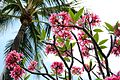 Lovely plumeria flowers (8929524518).jpg