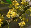Lozanella enantiophylla 4