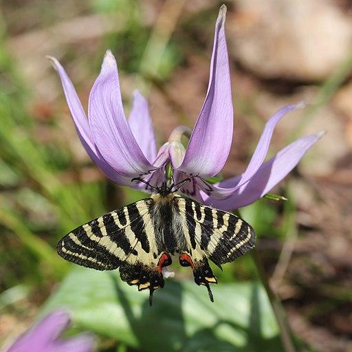 Luehdorfia japonica (on Erythronium japonicum s5)