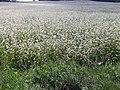 Lupinus-luteus-field-Lithuania.jpg